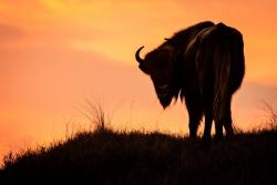 Europese bison in avondlicht