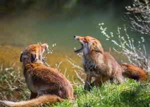Koppel vossen